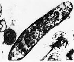 Thiobacillus